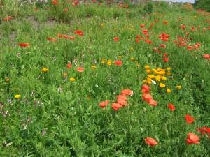 Stile Field Flowers 2015 015